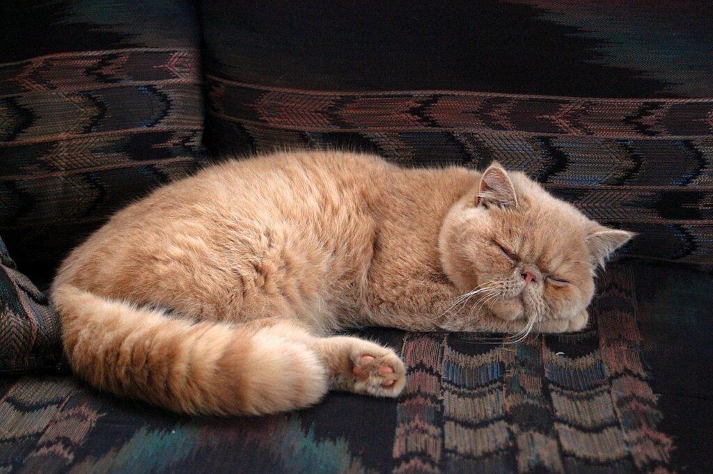 gato persa naranja