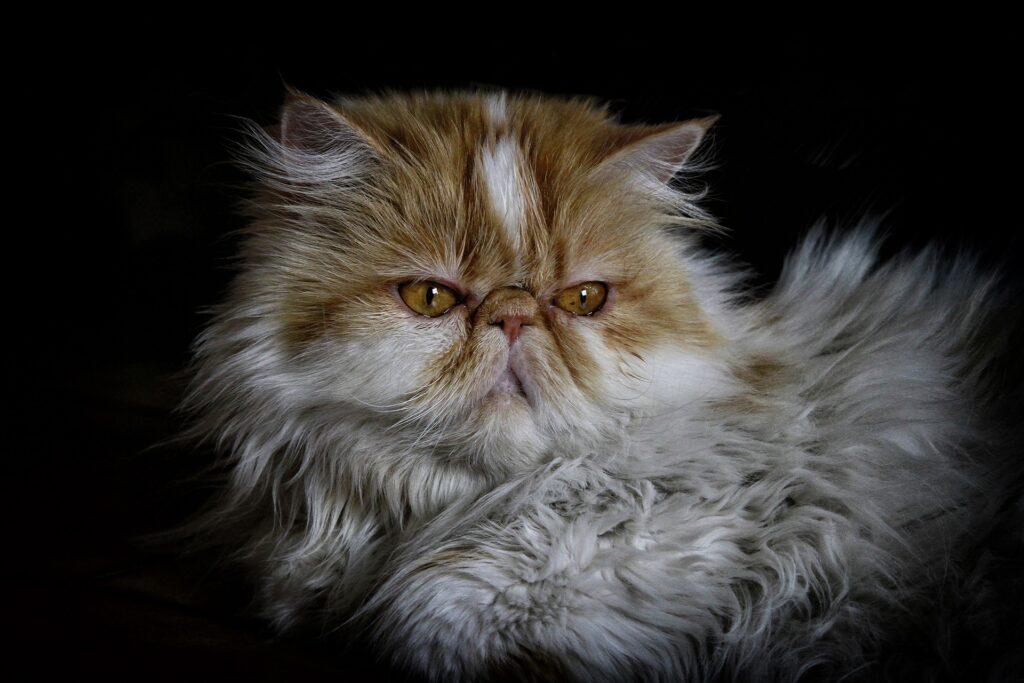 cardiomiopatia restrictiva felina