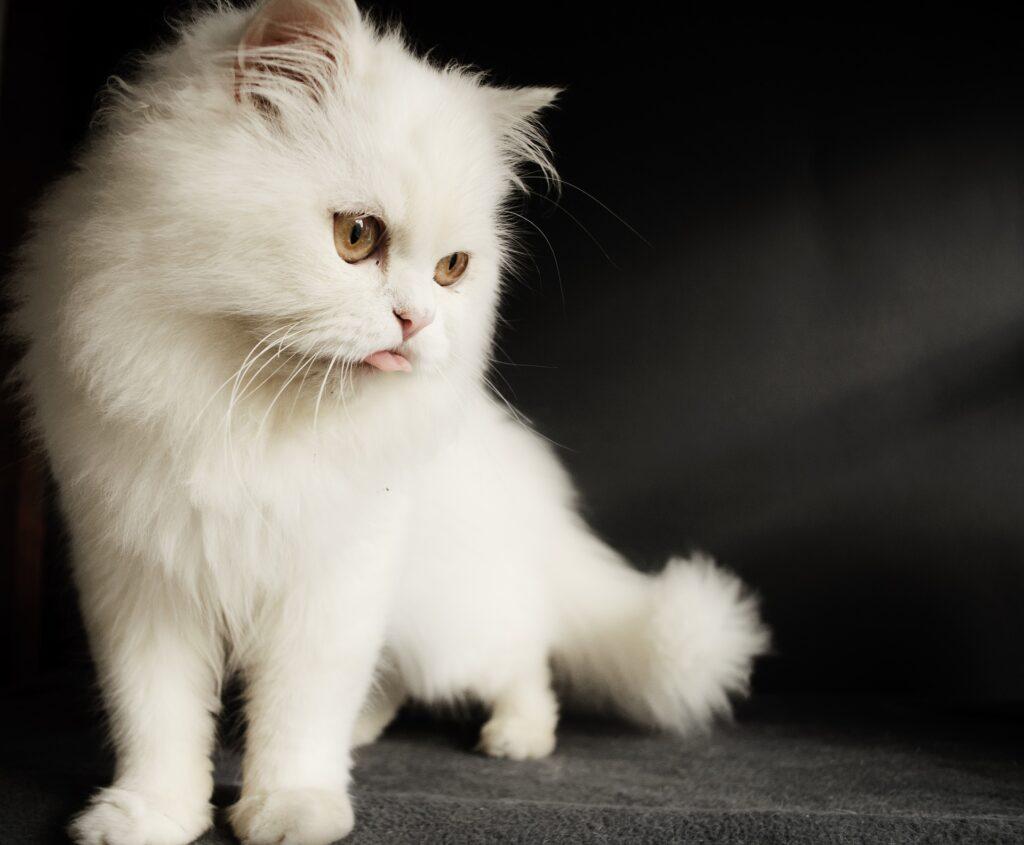problema digestivo gato persa