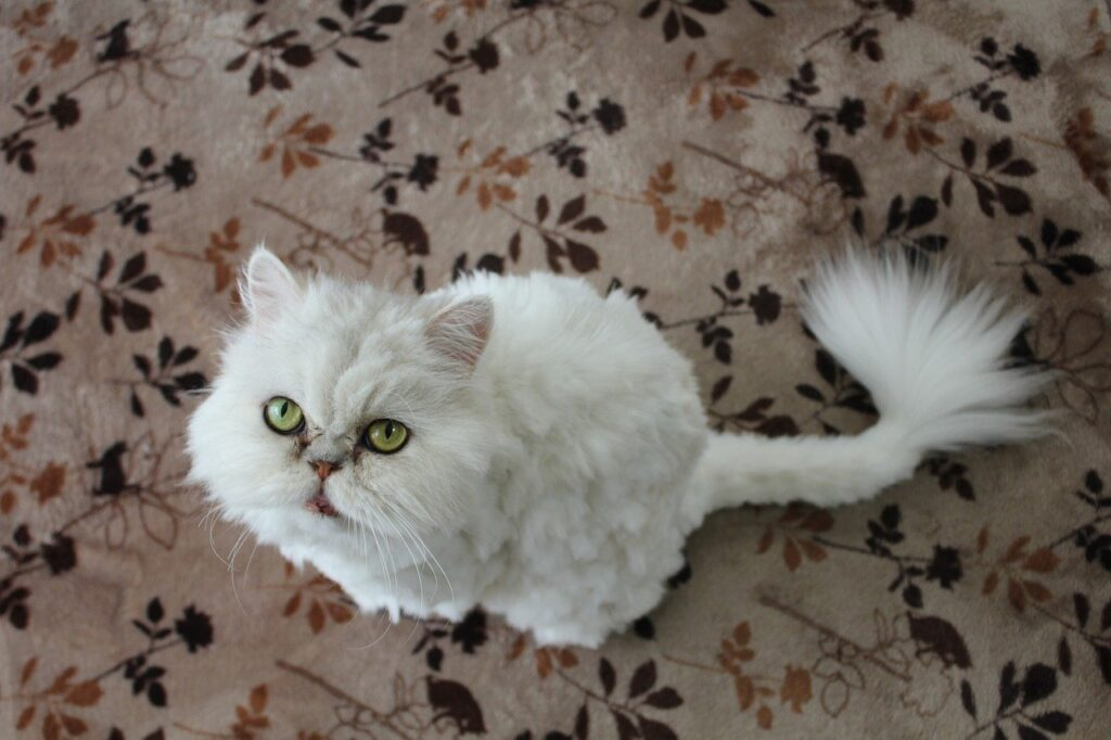 gato angora persa