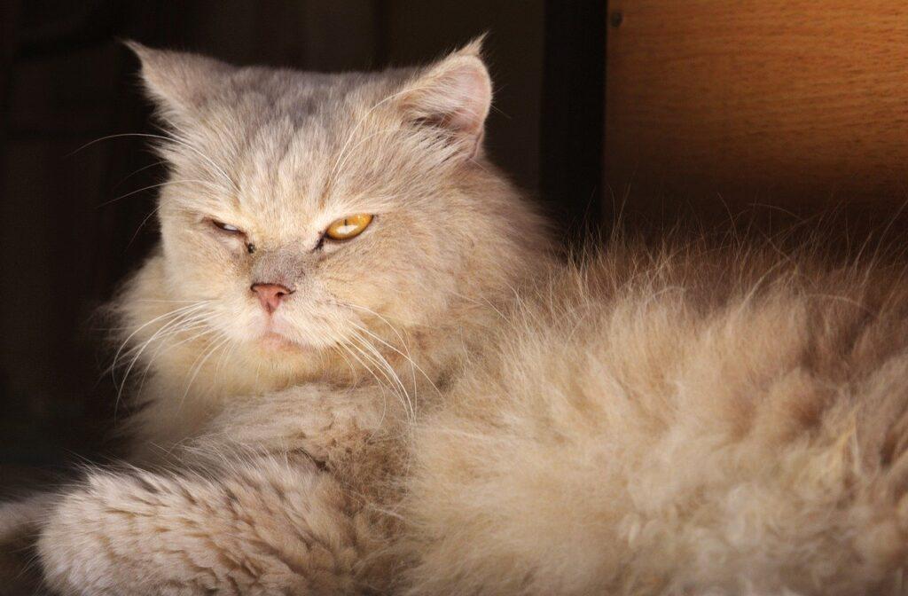 gato persa europeo