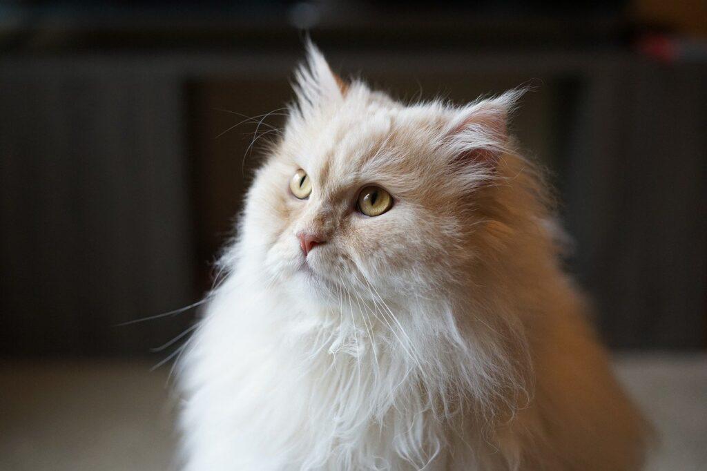 persas gatos