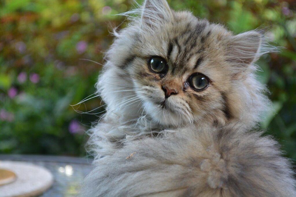 gato persa pelo corto