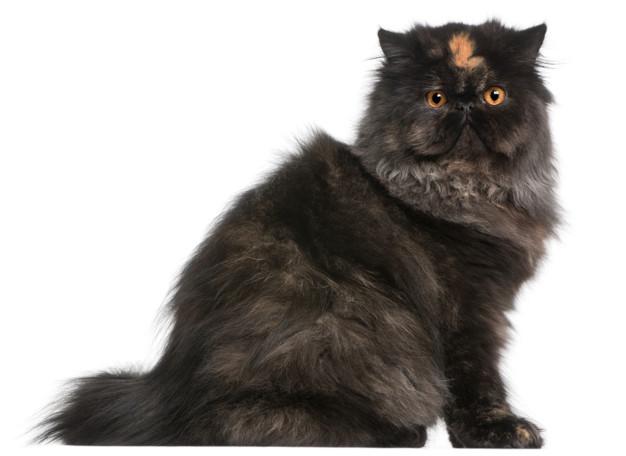 gato persa tricolor