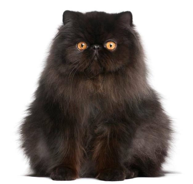 gato persa caracter