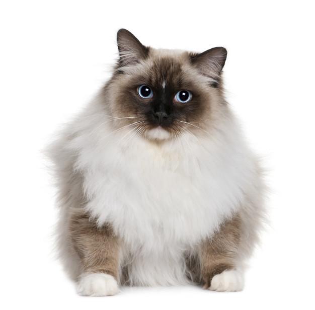 persa himalaya gato