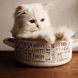 gato persa esperanza de vida