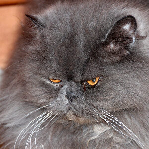 problemas oculares gato persa