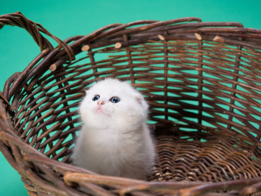 saber si un gato persa es original