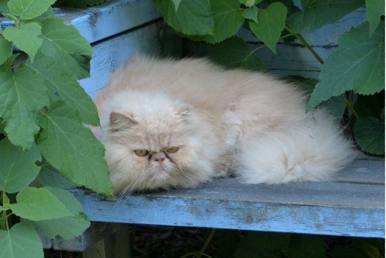 gato persa enfermedades