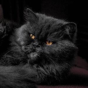curiosidades gato persa