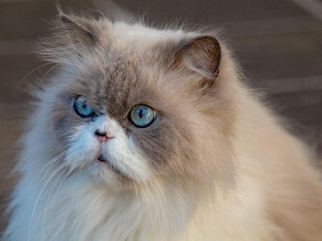 historia gato persa