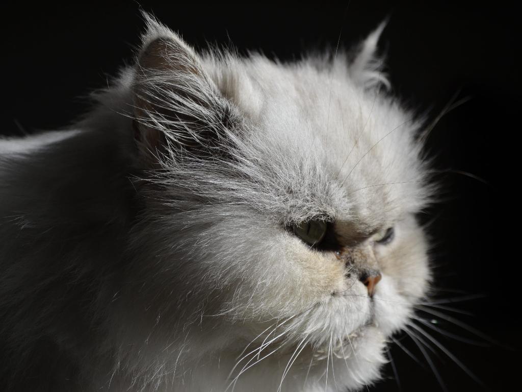 gato persa historia