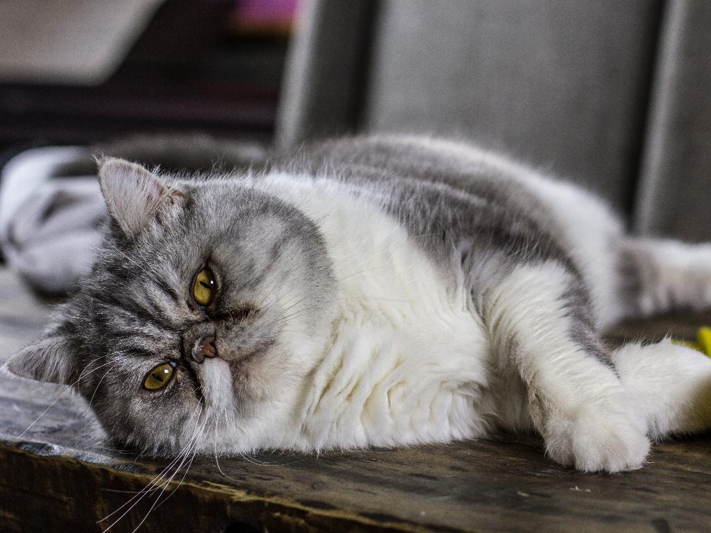 gato persa origen