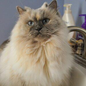 cuidar el pelo de un gato persa