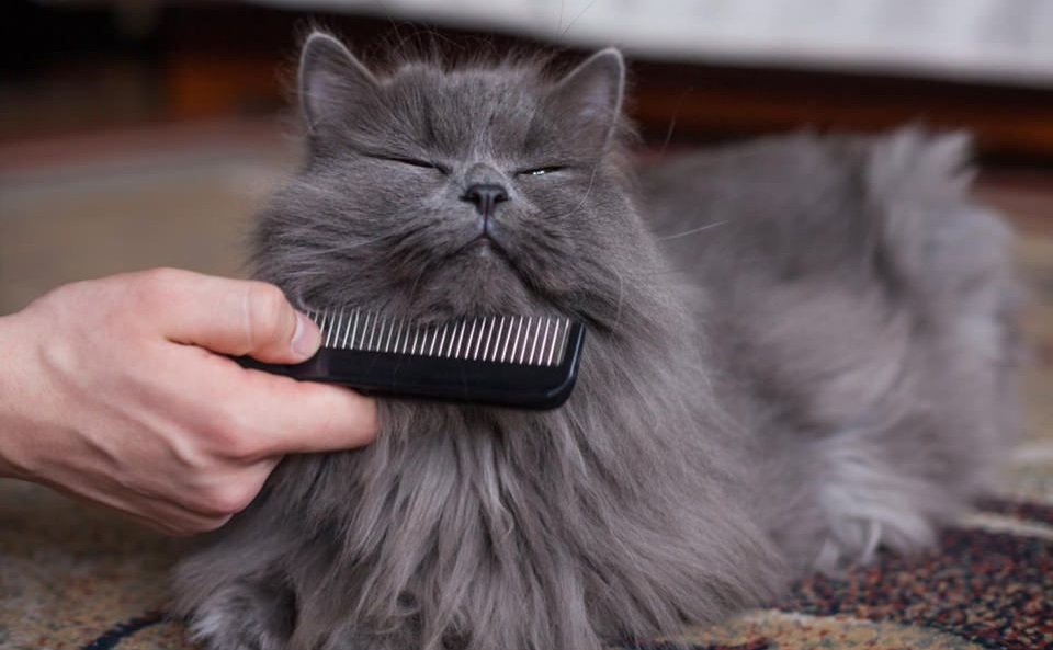 pelo gato persa