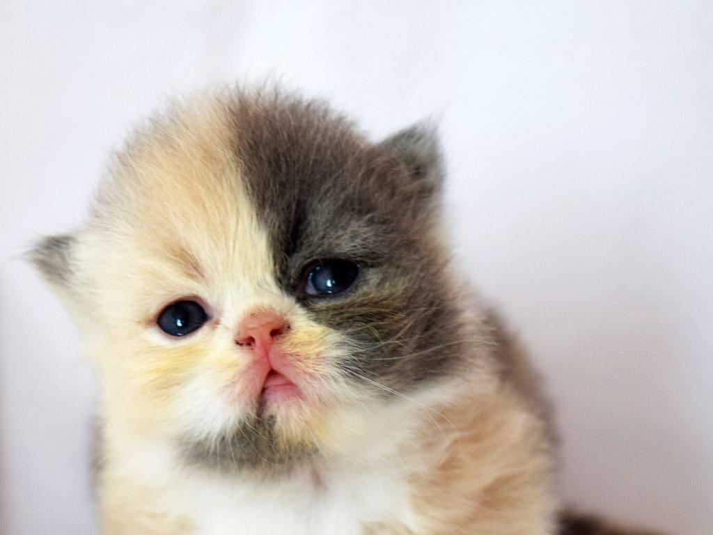 nombre para gata persa