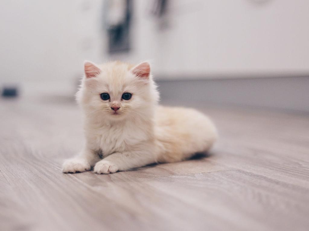 nombres para gatas persas blancas