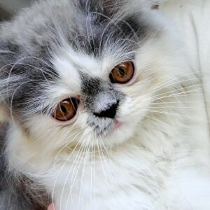 precio de gato persa