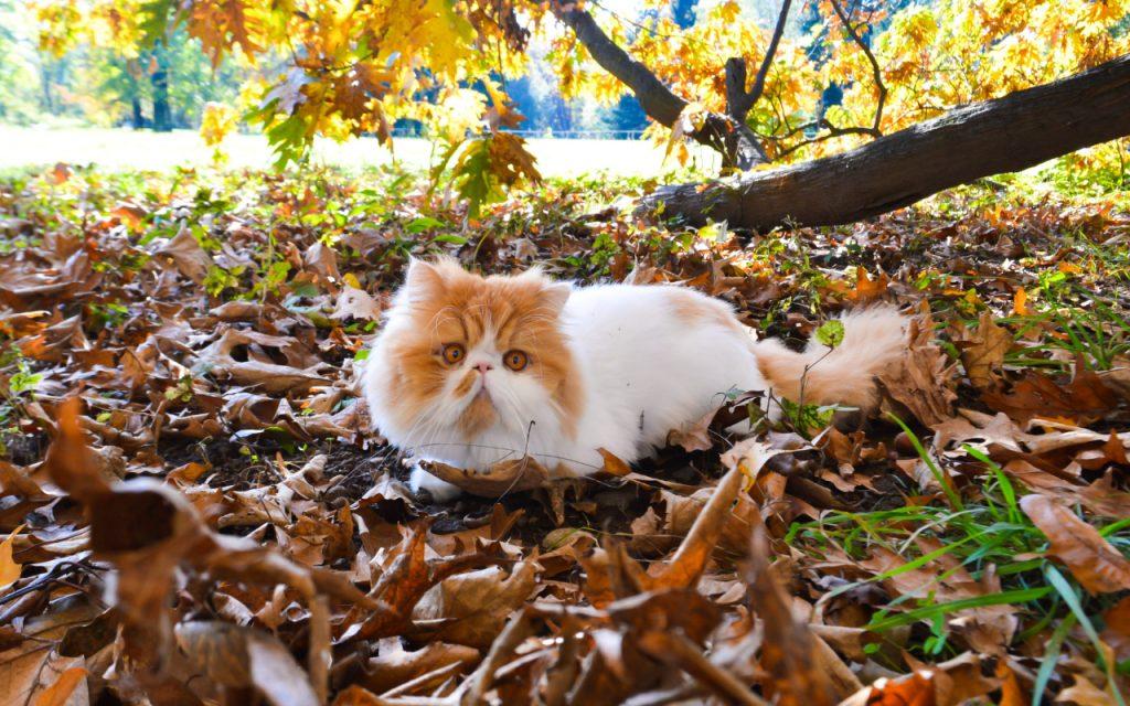 ver gatos persas