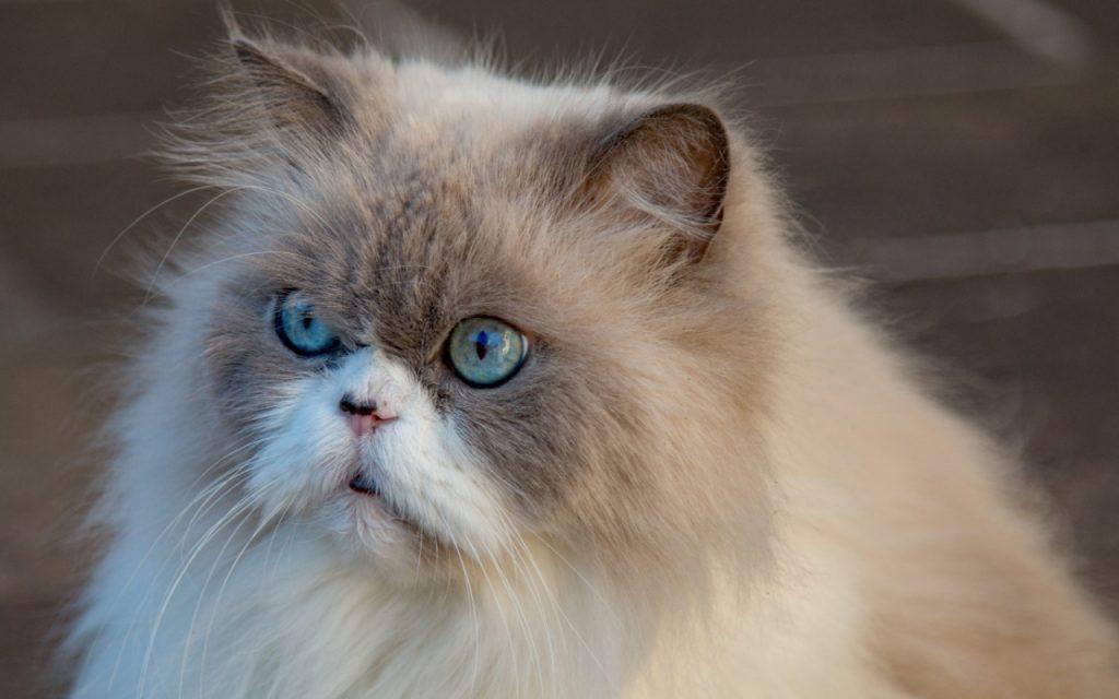 gato persa ojos azules