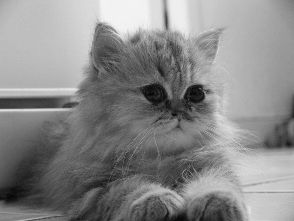 curiosidades gatos persas