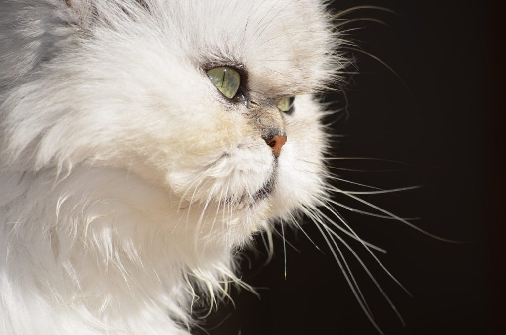 origen gato persa