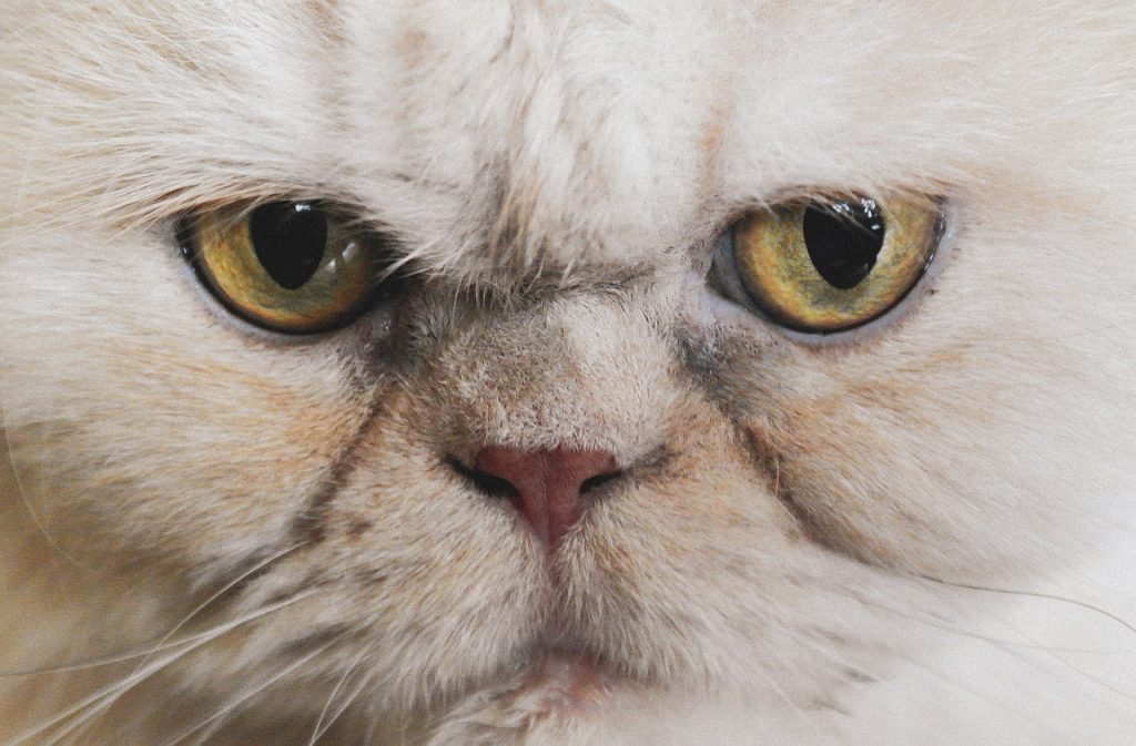 gato persa peke face